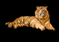Tiger. Siberian tiger lying isolated on black backgrount stock photos