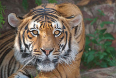 Tiger. Occurs in forests of Indo-Malayan and Palearctic regions; reddish orange / ochre coat with black transverse stripes, under parts whitish; territorial Stock Photo