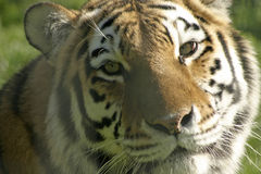 Tiger. A close-up of a Tiger's head, with special detail on the nose area Royalty Free Stock Photography