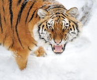Tiger. Beautiful wild siberian tiger on snow Stock Image