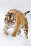 Tiger. Beautiful wild siberian tiger on snow Stock Photography