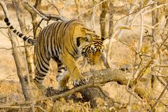 Tiger Royalty Free Stock Images