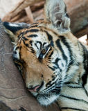 Tiger. Resting tiger with his head on wood Royalty Free Stock Photos