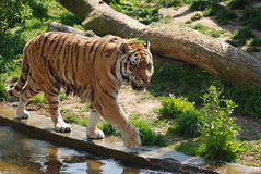 Tiger. In action near waters Royalty Free Stock Photography