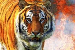 Tiger. The tiger (panthera tigris altaica Royalty Free Stock Photos