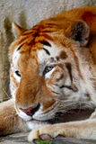 Tiger. Headshot of a Resting Tiger Stock Photography