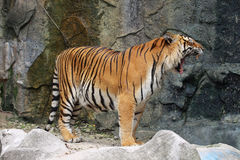 Tiger Stock Photography