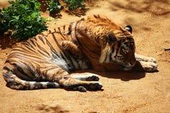 Tiger. Royalty Free Stock Photos