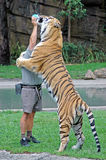 Tiger. Land at Dream World in Queensland Australia. This big male cat is loving it milk. It is all part of the show Stock Photography