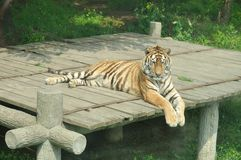 Tiger. Rare animal tiger sitting on the bridge Stock Images
