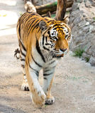 The tiger Stock Image