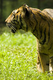 Tiger. With green background photo stock images