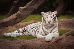 Tiger. White tiger resting quietly Royalty Free Stock Photo