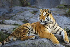 Tiger. Siberian tiger (Panthera tigris altaica) resting on a rock Royalty Free Stock Photography