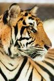 Tiger Stock Image