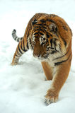 Tiger. Portrait of a Siberian Tiger Royalty Free Stock Photos
