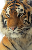 Tiger. Portrait of a Siberian Tiger Stock Photography