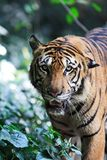 Tiger. Close up Royalty Free Stock Images