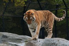 Tiger. A tiger standing on the rock watching down Stock Photography
