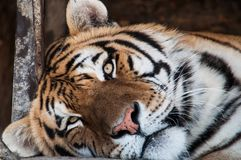 Tiger. Resting tiger in after eating whole bucket of raw meat Royalty Free Stock Photography