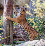 Tiger. Scratches on a tree Royalty Free Stock Photography