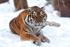 Tiger. Portrait of a Siberian Tiger Stock Images