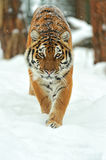Tiger. Portrait of a Siberian Tiger Royalty Free Stock Images