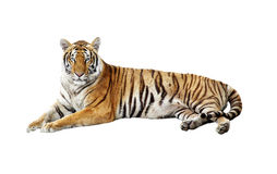 Free Tiger Royalty Free Stock Images - 29821349