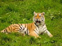 Tiger. A siberian tiger is lying on the grass Stock Image