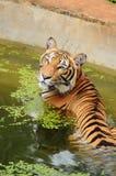 Tiger Lizenzfreies Stockbild