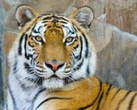 Tiger. Close-up portrait of the big tiger on stone wall background Stock Photos
