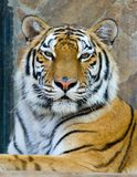 Tiger. Close-up portrait of the big tiger on stone wall background Royalty Free Stock Photo