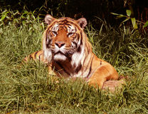 Tiger. African Tiger sitting in the grass and looking alert royalty free stock image