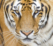 Free Tiger Royalty Free Stock Images - 33129799