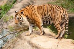 Tiger lizenzfreie stockfotos