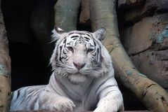 Tiger. The white tiger in the zoo Stock Images