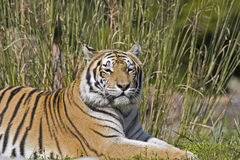 Tiger. Bengal Tiger Royalty Free Stock Photography