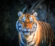 Tiger. Is in the relaxing time Royalty Free Stock Photos