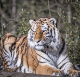 Tiger. Beautiful tiger at rest in sunshine Royalty Free Stock Photography
