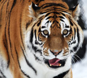 Tiger. This tiger just finished his lunch royalty free stock photo