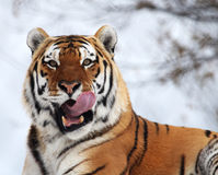 Tiger. The tiger is roaring when i shoot it Royalty Free Stock Photography