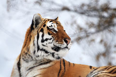 Tiger. The tiger is stare at something stock images