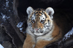 Tiger. The baby tiger is so cute royalty free stock image
