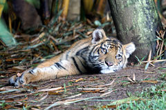 Tiger. A young tiger lying under tree Royalty Free Stock Photo
