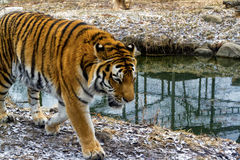 Free Tiger Stock Images - 40095874