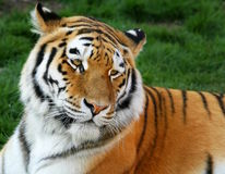 Tiger. A Siberian tiger in a green background Royalty Free Stock Photos