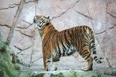 Tiger Arkivfoton