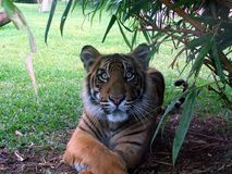 Tiger. Looking straight at me Stock Image