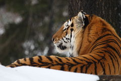 Tiger. The male tiger is looking far away royalty free stock image