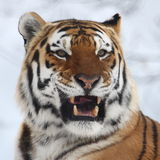 Tiger. The male tiger is angry royalty free stock photography